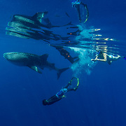 I have been going on the Aegel Ivan whale shark tour boat to photograph whale sharks for ten years. They visit Honda Bay to feed from April to October.