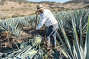 A jimador uses a coa, a knife like spade, to cut the spears off blue agave plants during harvest in a field owned by the Siete Leguas tequila distillery in the Jalisco Highlands of Mexico. Siete Leguas is a family owned distillery crafting the finest tequila using the traditional process unchanged since for 65-years.