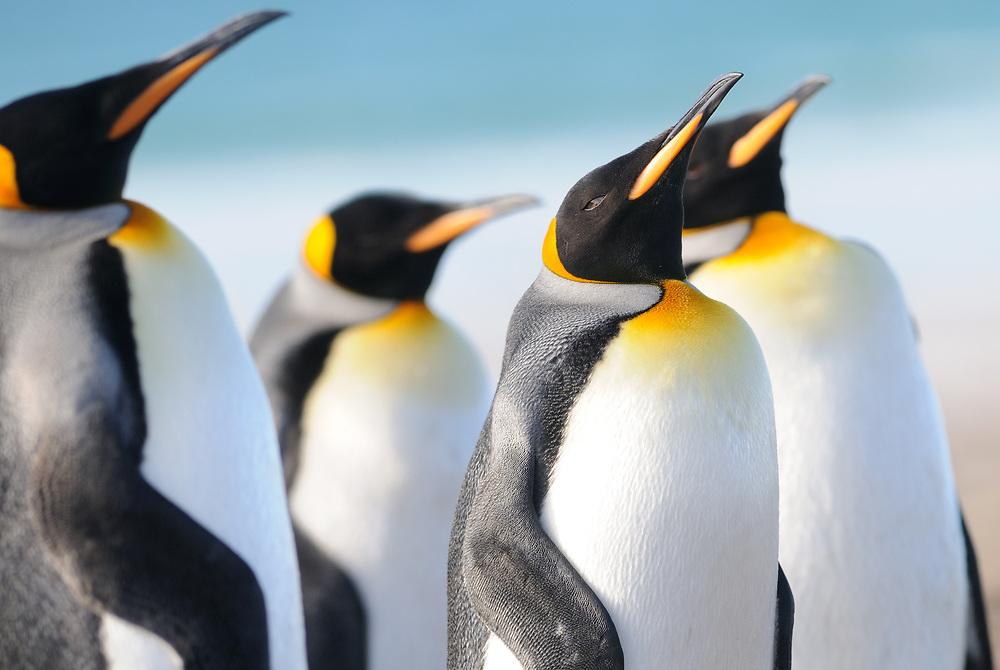 King penguins (Aptenodytes patagonicus).  Saunders Island, Falkland Islands. 15Feb16
