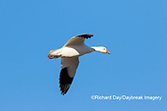 00754-02314 Snow Goose (Chen caerulescens) in flight Marion Co. IL