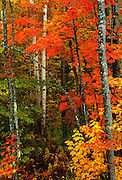 Image of fall trees in Acadia National Park, Maine, American Northeast by Randy Wells