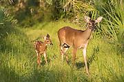 A doe and fawn white-tail deer walk through the woods at Botany Bay Plantation July 3, 2016 in Edisto Island, South Carolina.