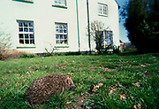 Hedgehog, Erinaceus europeus, on grass in front of house in background, wide angle, urban environment