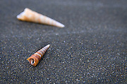 """Cone shells on black sand at Karekare beach, Northland, New Zealand, location for the movie """"The Piano"""""""
