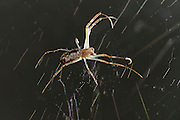 [captive] This Golden Silk Orbweaver (Nephila clavipes) is only a few months old. | Wenige Monate alte Goldene Radnetzspinne (Nephila clavipes).