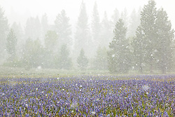 """""""Snowy Sagehen Meadows 2"""" - This field of Camas wildflowers was photographed during a snow storm at Sagehen Meadows, near Truckee, California."""