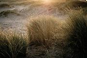Marram grass against the light of the morning sun in the dunes of The Hague at the Zuiderstrand in The Hague. | Helmgras in het tegenlicht van de ochtendzon in de haagse duinen bij het zuiderstrand in Den Haag.
