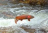 Lahontan Cutthroat Trout (jumping waterfall)<br /> <br /> Patrick Clayton/Engbretson Underwater Photography