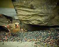 Female Northern Cardinal. Image taken with a Nikon D4 camera and 600 mm f/4 VR lens (ISO 320, 600 mm, f/4, 1/400 sec).