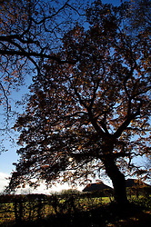 A majestic oak tree dominates this beautiful late autumn landscape near Stagsden Bedfordshire England UK.  Some parts of southern England enjoyed mild sunny weather over the weekend, though it is expected to be colder next week, Sunday, 1st December 2013. Picture by  Jonathan Mitchell / i-Images