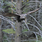 Great Gray Owl, (Strix nebulosa) Adult bringing in prey to feed babies in nest. Montana. Spring.