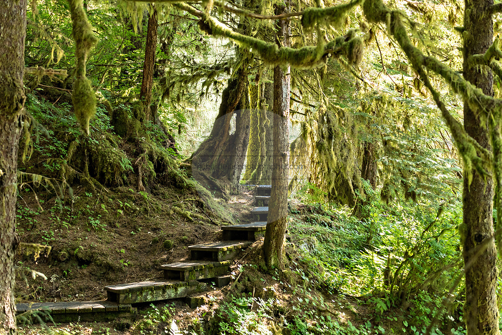 The forest service trail through temperate rain forests to the bear observation platform at Anan Creek in the Tongass National Forest, Alaska. Anan Creek is one of the most prolific salmon runs in Alaska and dozens of black and brown bears gather yearly to feast on the spawning salmon.