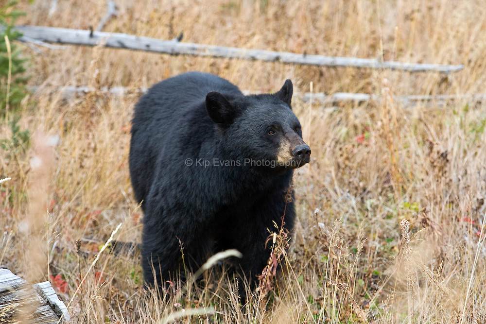 Black bear in Yellowstone National Park.
