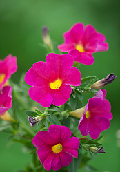 Petunia Petchoa SuperCal™ 'Neon Rose'