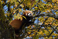 Red panda or Lesser panda (Ailurus fulgens) sitting ina tree with yellow leaves in the humid montane mixed forest, Laba He National Nature Reserve, Sichuan, China