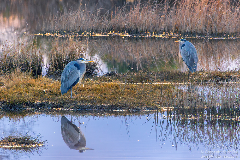 Two great blue herons (Ardea herodias) hunt for fish in the Edmonds Marsh, Edmonds, Washington.