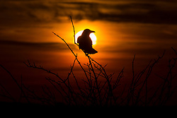 © Licensed to London News Pictures. 25/01/2016. Baildon UK. A bird watches this mornings sunrise on Baildon Moor as Britain braces itself for more bad weather as fears grow that Storm Jonas will hit Britain. Photo credit: Andrew McCaren/LNP