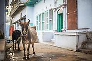 Cow on the streets of Varanasi, Uttar Pradesh, India