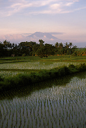 Rice Paddies and Mt. Agung, Bali, Indonesia,  photo bali202, Photo Copyright: Lee Foster, www.fostertravel.com, 510-549-2202, lee@fostertravel.com., rice, paddy, paddies, plant, crop, agriculture, water, mountain, landscape, palm trees, picturesque, scenic, verticlal