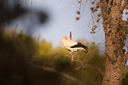 White stork (Ciconia ciconia) engaging in a courtship display. White storks live in wetlands, savannas, meadows and agricultural fields. During breeding season, they seek out suitable structures on which to build nests, especially sunny sites in tall trees or on rooftops Photographed in Israel, in September