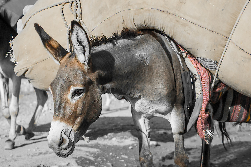 Stock photograph of a loaded donkey in Tajikistan. Locals slit their donkey's nostrils to help them increase their oxygen intake at the high elevations.