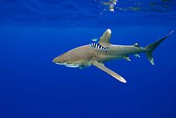 Oceanic Whitetip Shark, Carcharhinus longimanus, with Pilotfish, Naucrates ductor, Remoras, Remora sp., and Rainbow Runner, Elagatis bipinnulatus, off Kona, Big Island, Hawaii, Pacific Ocean.