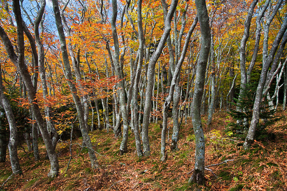 Autumn beech gap—Critically Imperiled—At very high risk of extinction