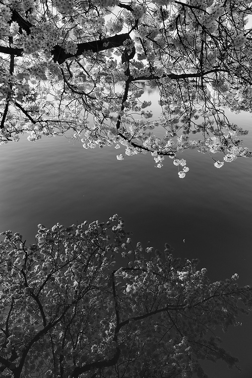 Cherry Blossoms are reflected in the waters of Tidal Basin on an April morning in Washington, D.C.