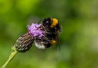 HALFWEG - insecten op de golfbaan , Aardhommel Bombus terrestriAmsterdamse Golf Club. (AGC)  . Insecteninventarisatie  COPYRIGHT KOEN SUYK