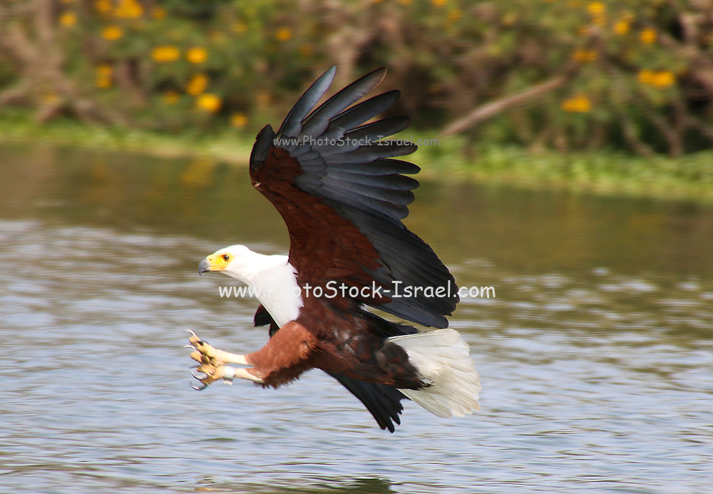 African fish eagle (Haliaeetus vocifer) in flight with a fish in its talons. This bird is found in sub-Saharan Africa near water. The female, the larger of the sexes, has a wingspan of up to 230 centimetres. The African fish eagle spends most of the day perching in a high tree near water. From this perch it will swoop down on fish, catching them with its feet. Although the majority of its diet consists of fish, the African fish eagle also feeds on flamingos and other water birds, as well as carrion. Photographed at Lake Naivasha, Kenya