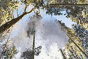 Snow falling from spruce (Picea abies) on sunny winter day in forests in Kemeri National Park (Ķemeru Nacionālais parks), Latvia Ⓒ Davis Ulands   davisulands.com