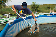 Sturgeon farm raising mainly starry sturgeons, Acipenser stellatus, also known as stellate sturgeon. The starry sturgeon is considered critically endangered by the IUCN and international trade in this species (including its caviar) is restricted by CITES. This farm Kavoar House is located outside Horia village, close to Danube Delta, Romania.