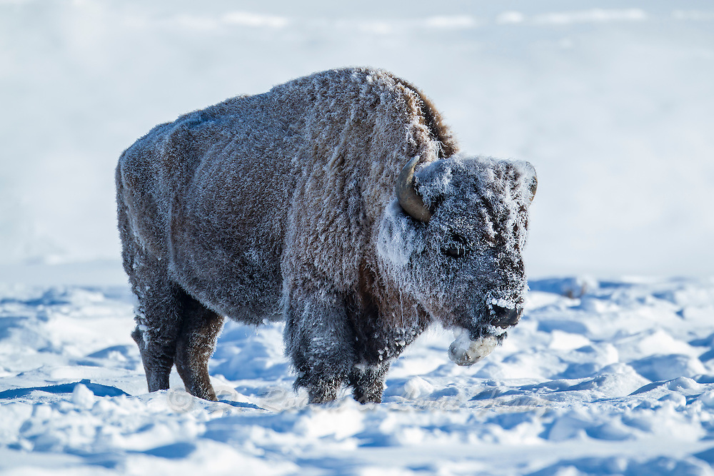 Bull bison covered with snow and frost during winter in Yellowstone National Park
