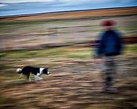 Sheep dog at work at an Estancia in Patagonia. Image taken with a Nikon D3s camera and 50 mm f/1.4 lens (ISO 200, 50 mm, f/16, 1/10 sec).