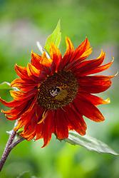 Bee on Sunflower - Helianthus annuus 'Claret'