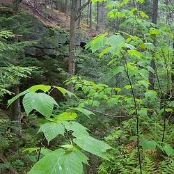 The forest on Mondanock Mountain in Lemington, Vermont.  The Northeast Kingdom.