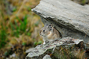 Pika in Denali National Park