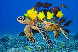 Endangered green sea turtle, Chelonia mydas, being cleaned by yellow tang, Zebrasoma flavescens, gold-ring surgeonfish, Ctenochaetus strigosus, and endemic saddle wrasse, Thalassoma duperrey, Kona Coast, Big Island, Hawaii, USA, Pacific Ocean