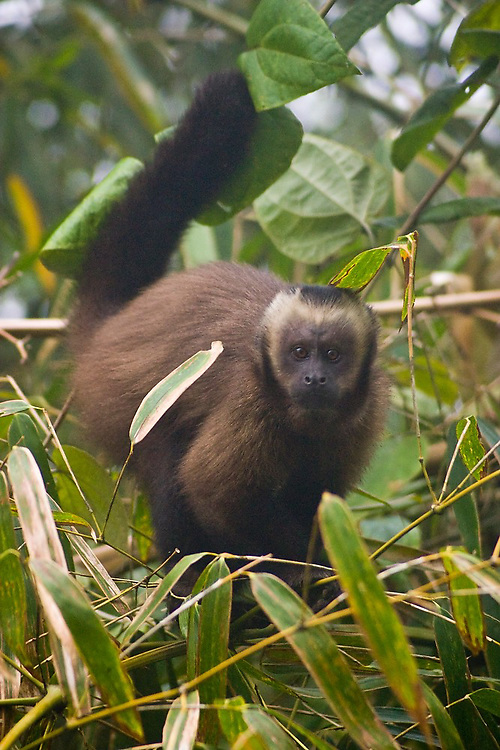 Brown Capuchin (Cebus apella) monkey among bamboo in the cloud forest on the eastern foothills of the Andes, between the Puna highlands and the lower Amazon Basin, Peru.