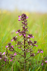 Marsh lousewort. Pedicularis palustris