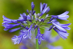 Agapanthus 'Navy Blue' syn A. 'Midnight Star'. African lily