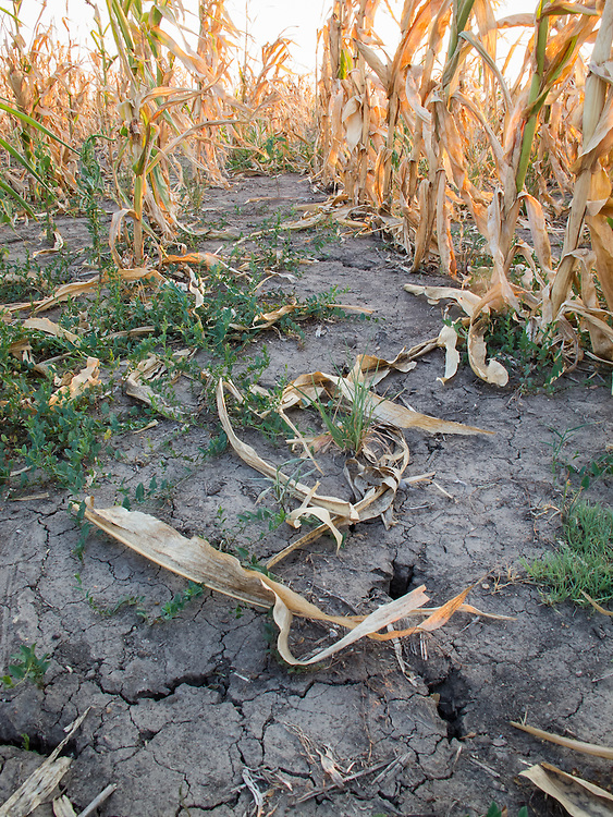 The weak remnants of a corn crop cover parched ground near Wichita, KS.