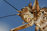 Die Panzergrille (Hetrodes pupus) macht ihrem Namen alle Ehre: Ihr äußerst stabiles Chitin-Aussenskelett ist mit Stacheln und Dornen bewehrt. So wird sie selbst von Löffelhunden verschmäht, die Dank ihres speziellen Gebisses praktisch alle anderen Insekten und sogar Skorpione fressen können. | Armoured Cricket (Hetrodes pupus)