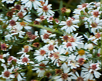 Eastern Daisy Fleabane. Sourland Mountain Preserve. Image taken with a Nikon 1 V3 camera and 70-300 mm VR lens.