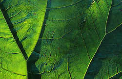 The backlit leaf of Gunnera manicata