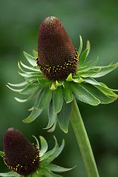 Rudbeckia occidentalis 'Green Wizard'. Western coneflower