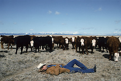 cowboy resting in on a cattle ranch while cows walk around him
