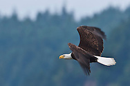 Bald Eagle (Haliaeetus leucocephalus) (Halietus leucocephalus) flies over Hood Canal in Puget Sound Washington, USA with wings flapping to show motion blur.