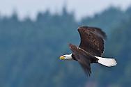 Bald Eagle (Haliaeetus leucocephalus) (Halietus leucocephalus) flies over Hood Canal in Puget Sound Washington, USA with wings flapping to show motion blur.
