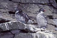 Least Auklet - Aethia pusilla - breeding adult